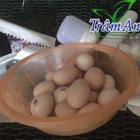 trứng gà chọi