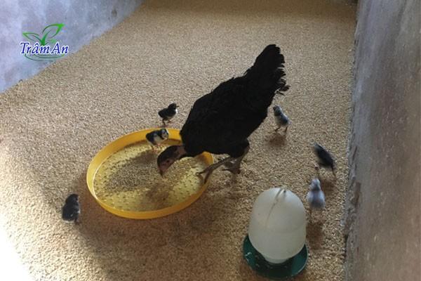 Chuồng nuôi gà con