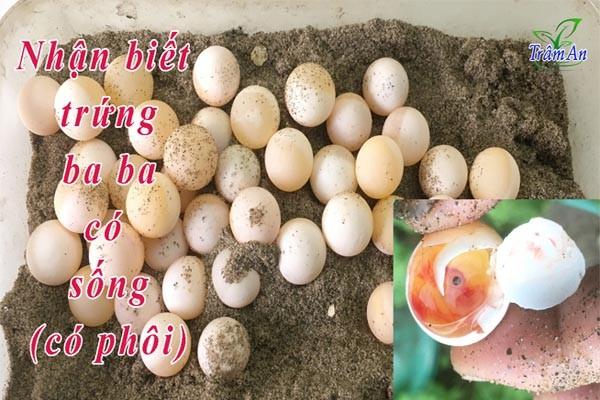 Nhận biết trứng ba ba có sống