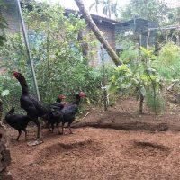 Nhân giống gà chọi thuần chủng