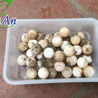 Trứng ba ba giống