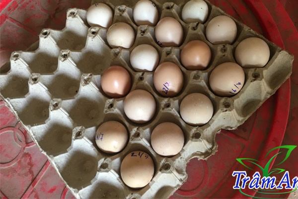 Trứng gà chọi chuẩn