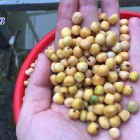 Cách trống đậu hà lan