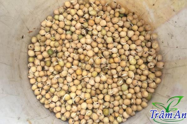 Cách ươm đậu Hà Lan