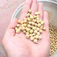 Hạt đậu hà lan nảy mầm