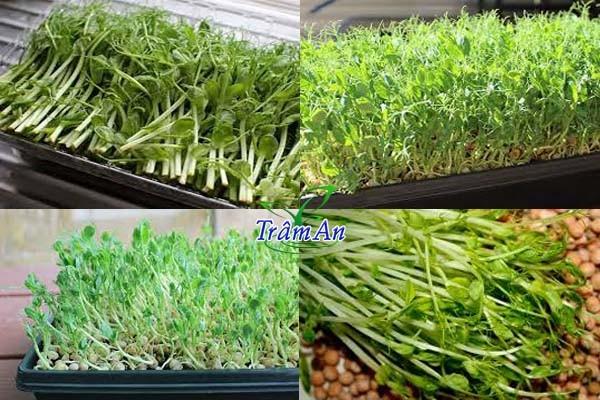 Hạt giống đậu hà lan ăn lá mầm
