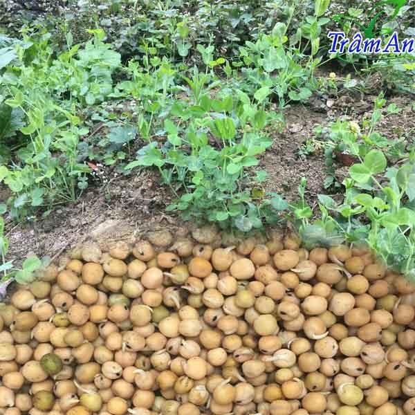 Hạt giống đậu Hà lan ăn lá