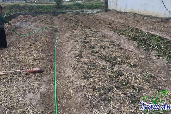 Hướng dẫn trồng đậu Hà Lan