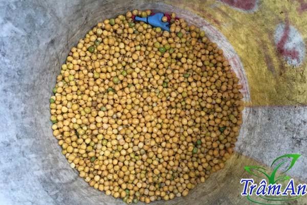 Ủ hạt đậu Hà Lan