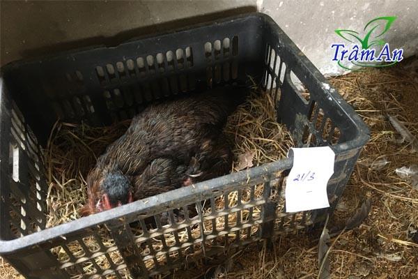 Ấp trứng gà chọi