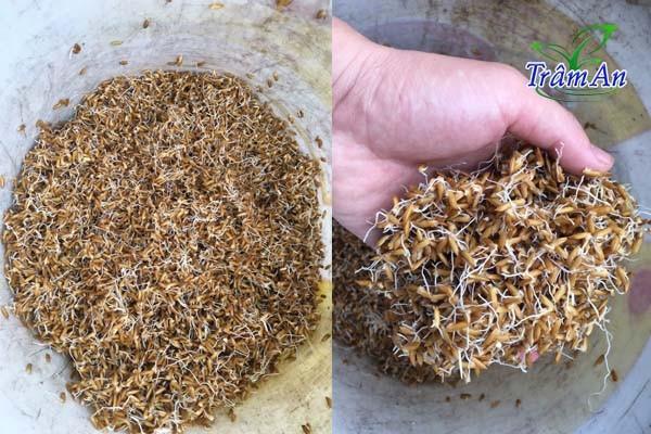 Cách ủ lúa mầm
