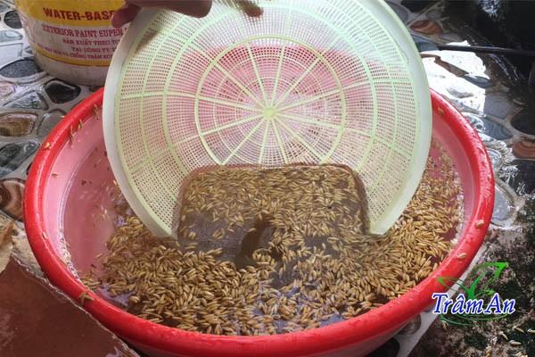 Rửa sạch lúa dùng để ủ mầm