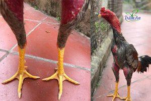 Cách xem chân gà chọi